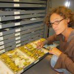 Royal BC Musuem Bird Archives Yellow Warbler drawer 2014